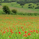 A Plethora of Poppies  by mikebov