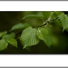 Heart Shaped Leaf by ChrisBaker