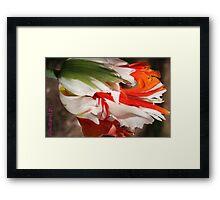 ragged tulip Framed Print