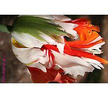 ragged tulip Photographic Print