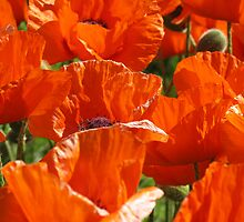 poppies by dawnpeace