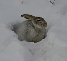 Rabbit in the Snow by Donna Ridgway