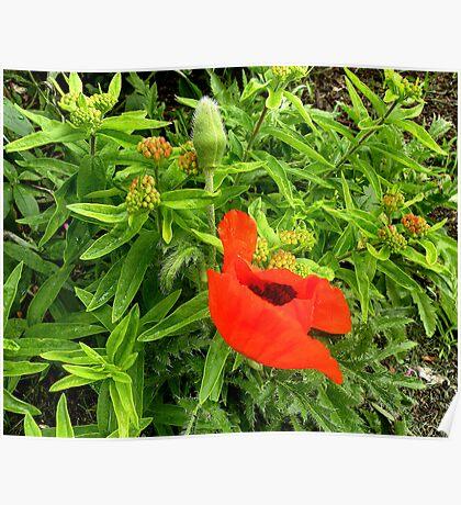 'Shy Poppy' Poster