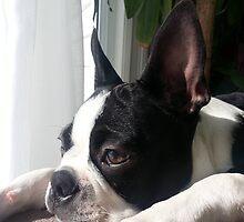 Thoughtful Boston Terrier by JTHaney