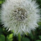 another dandelion by dawnpeace