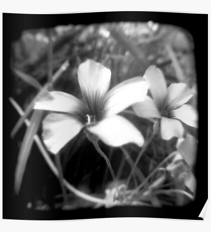 Oxalis - Through The Viewfinder Poster