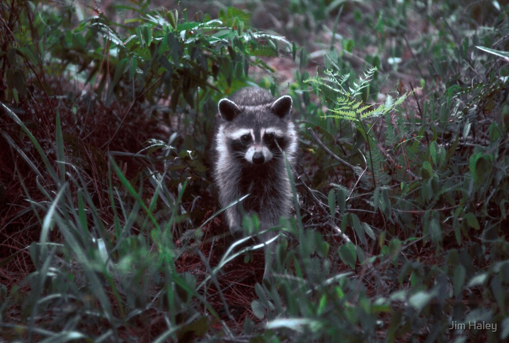 Rocky Racoon by Jim Haley
