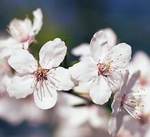 Blooming mirabelle plum  by MartinCapek