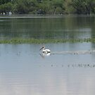 White Pelican in a Lake by janetmarston