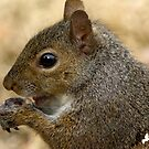 squirrel chomping on peanut by TJ Baccari Photography