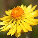 Everlasting Daisy by triciaoshea