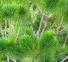 Calothamnus Foliage by metriognome
