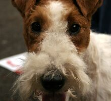 Special Fox Terrier Wire Coat by welovethedogs