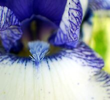 blue and white iris  by Michelle BarlondSmith
