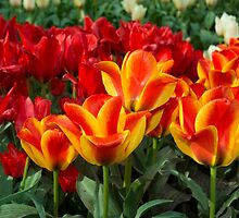 Red yellow Tulips  by Rob Hawkins
