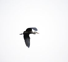 Flight of the Great Blue Heron by Michelle BarlondSmith