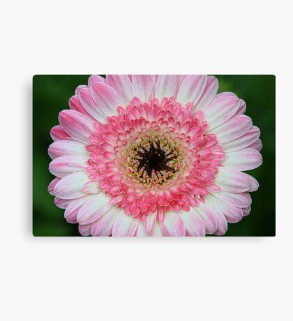 Daisy In Dry Brush Canvas Print