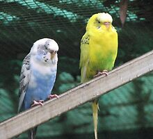 Budgies by Leoni South