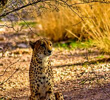 Cheetah by Brandon Kehrer