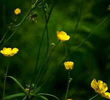 Buttercups by Trevor Kersley