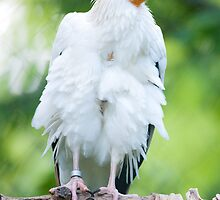 Egyptian Vulture (lat. Neophron percnopterus) by peterwey