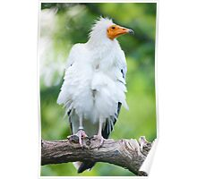 Egyptian Vulture (lat. Neophron percnopterus) Poster