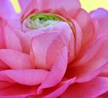 Pink Buttercup Sticker