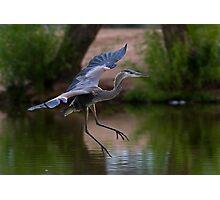 0605092 Juvenile Blue Heron Photographic Print