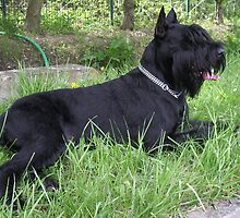 Well-trained Schnauzer Giant by welovethedogs