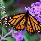 Monarch Butterfly on Lilacs by Gilda Axelrod