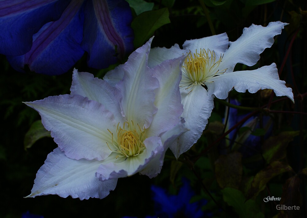 Clematis Gladys Picard by Gilberte