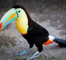toucan by peterwey