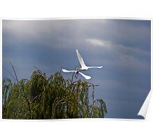 Pair of Cattle Egrets - Taking Flight Poster