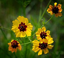 Plains Coreopsis by Colleen Drew