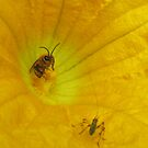 Bee and Katydid meeting in a squash blossom by jsmusic