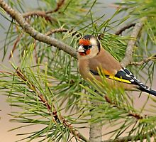 European Goldfinch perched on branch by Robert Flynn