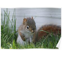 Red Squirrel Baby  Poster