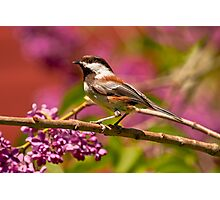 CHESTNUT-BACKED CHICKADEE Photographic Print