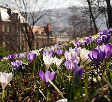 Spring in the old City - crocus Spring meadow by Yven-Dienst