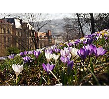 Spring in the old City - crocus Spring meadow Photographic Print