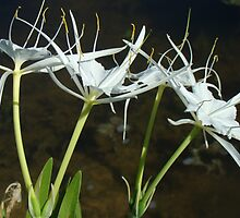 Alligator Lily by Elizabeth Fye - Hymenocallis palmeri by MotherNature