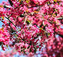 Pink blossom tree by HelgaScand