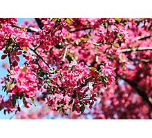 Pink blossom tree Photographic Print