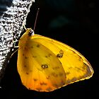 Yellow Butterfly by jensch8