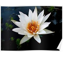 Water Lily White Poster