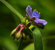 Spiderwort by Richard G Witham