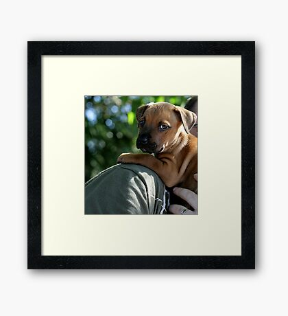 Caley - new staffy pup Framed Print