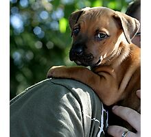 Caley - new staffy pup Photographic Print