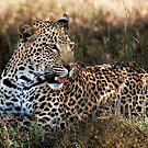 Phinda Leopard portrait by Sharon Bishop