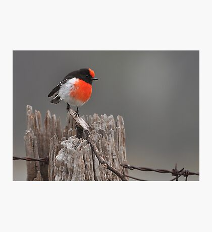 Red Capped Robin #2 Photographic Print